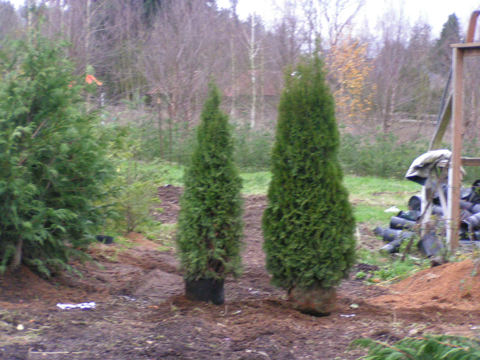 Arborvitae what you need to know article for Popular small trees