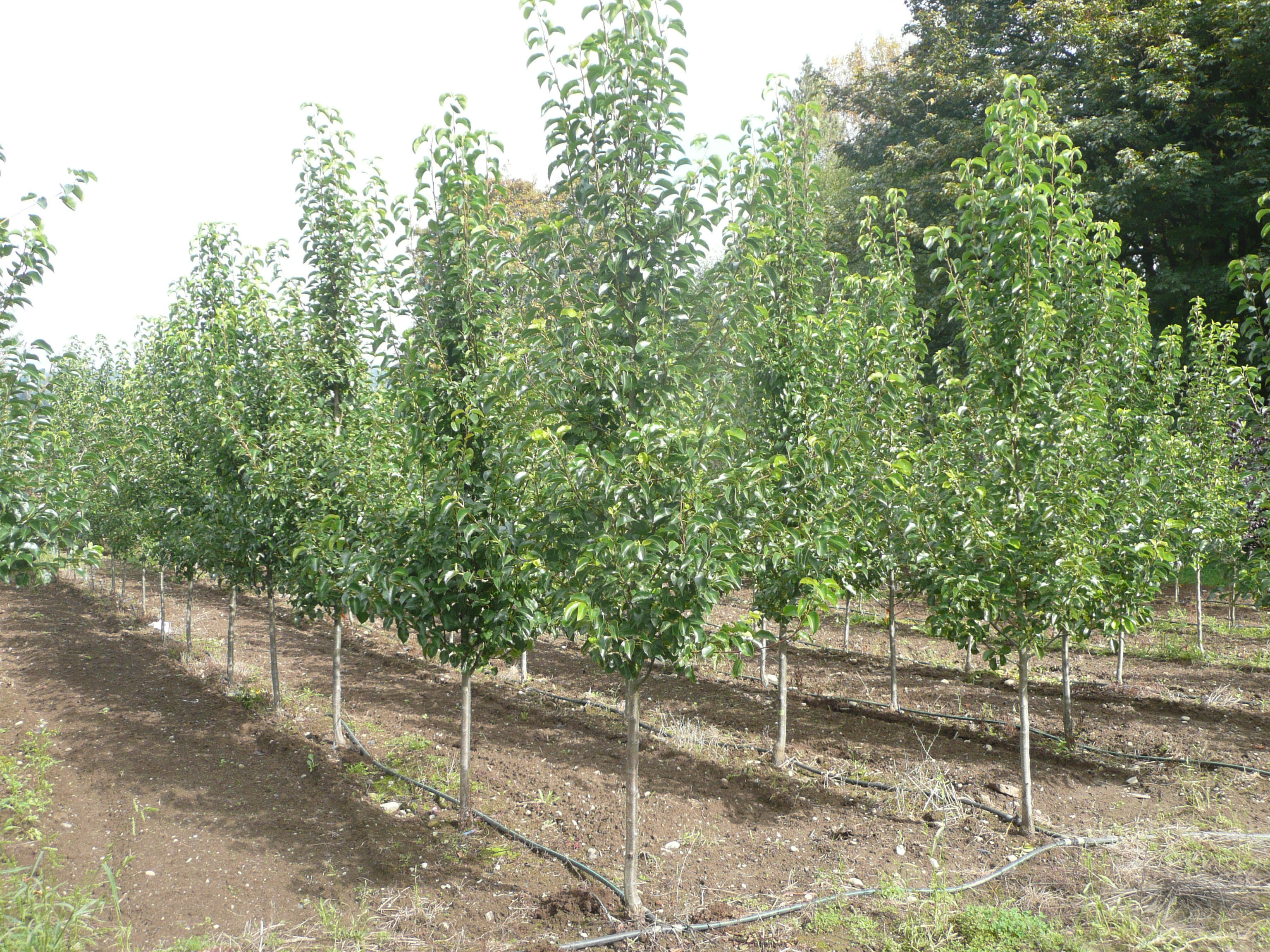 Chanticleer Pear available in Washington State