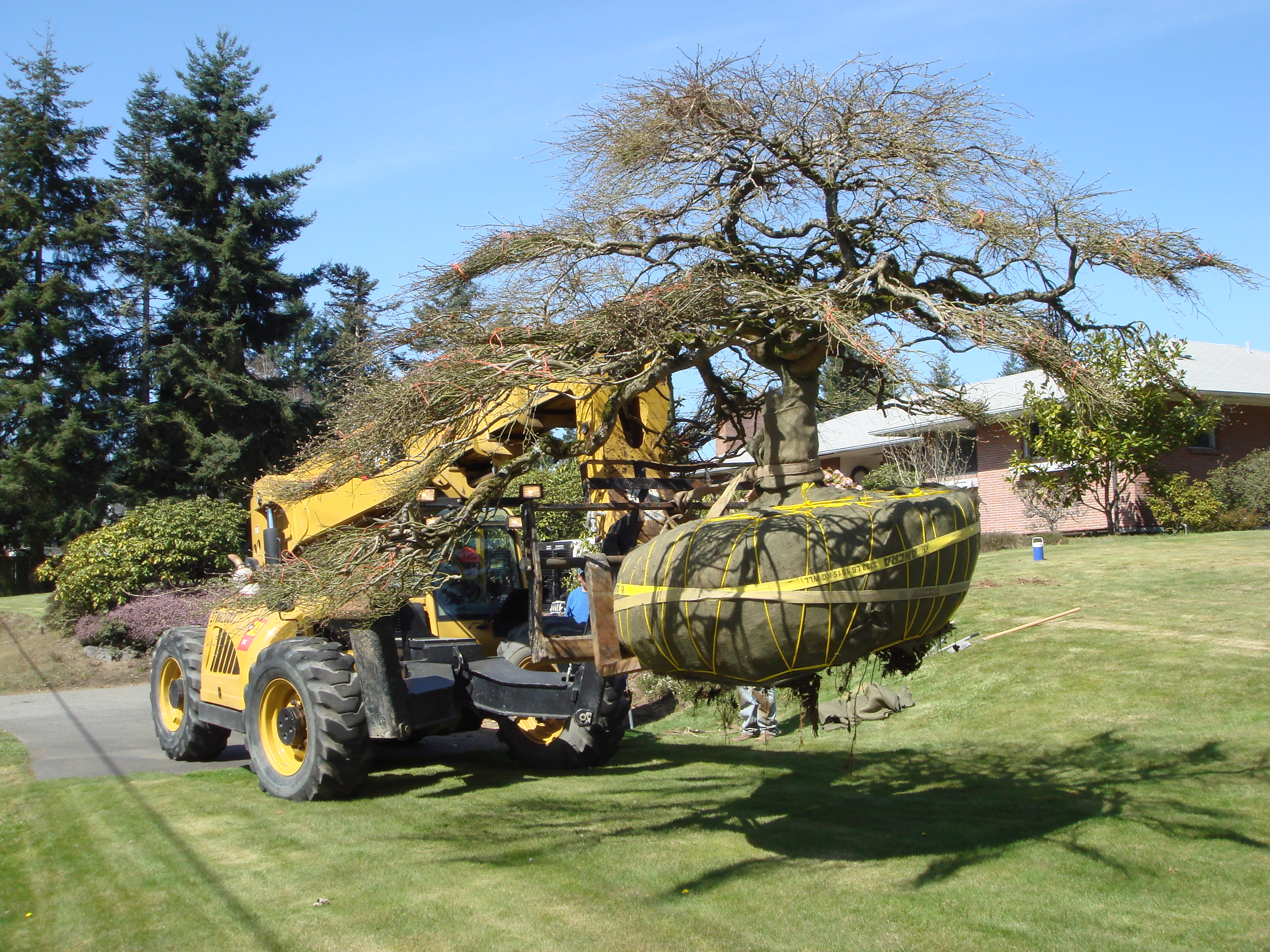 how to transplant a tree Moving an established tree can be an intimidating project, but if it can transform your landscape or fix fundamental design problems, it's worth the trouble but how exactly does one go about moving trees this article explains when and how to transplant a tree, so keep reading for some tree moving tips.
