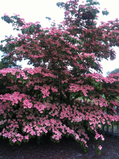 Satomi dogwood in washington state satomi dogwood is a pink flowered variety of the korean dogwood satomis deep rosy pink flowers appear a little later than other dogwood varieties mightylinksfo