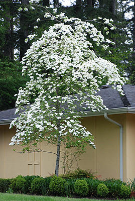 Eddies white wonder dogwood in washington state a hybrid between our native dogwood cornus nuttallii and cornus florida eddies white wonder is a heavily flowering deciduous tree with large white mightylinksfo