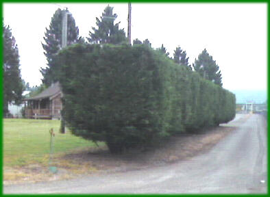 Excelsa Cedar Trees Available In Washington State