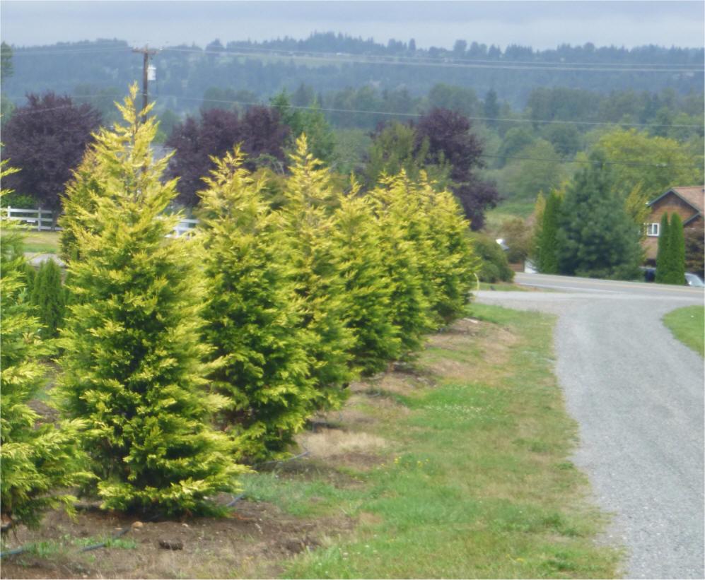 Leylandii Growth Rate Garden Design Ideas