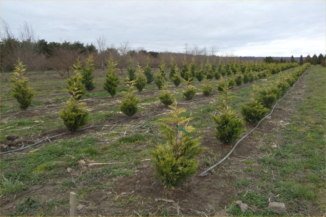 Gold Rider Cypress At Our River Growing Fields The Same Field In Spring 2017 And Summer