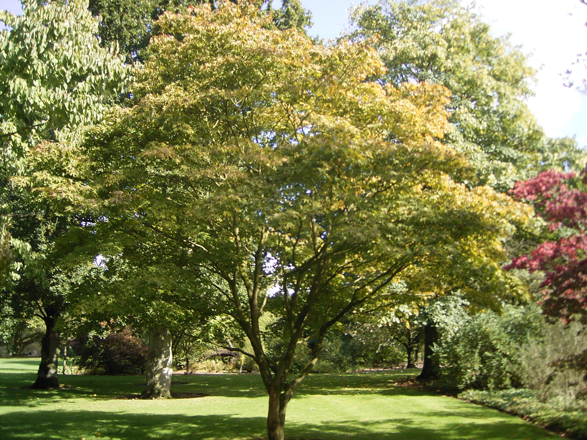 Green leaf japanese maple in washington state for Landscape trees