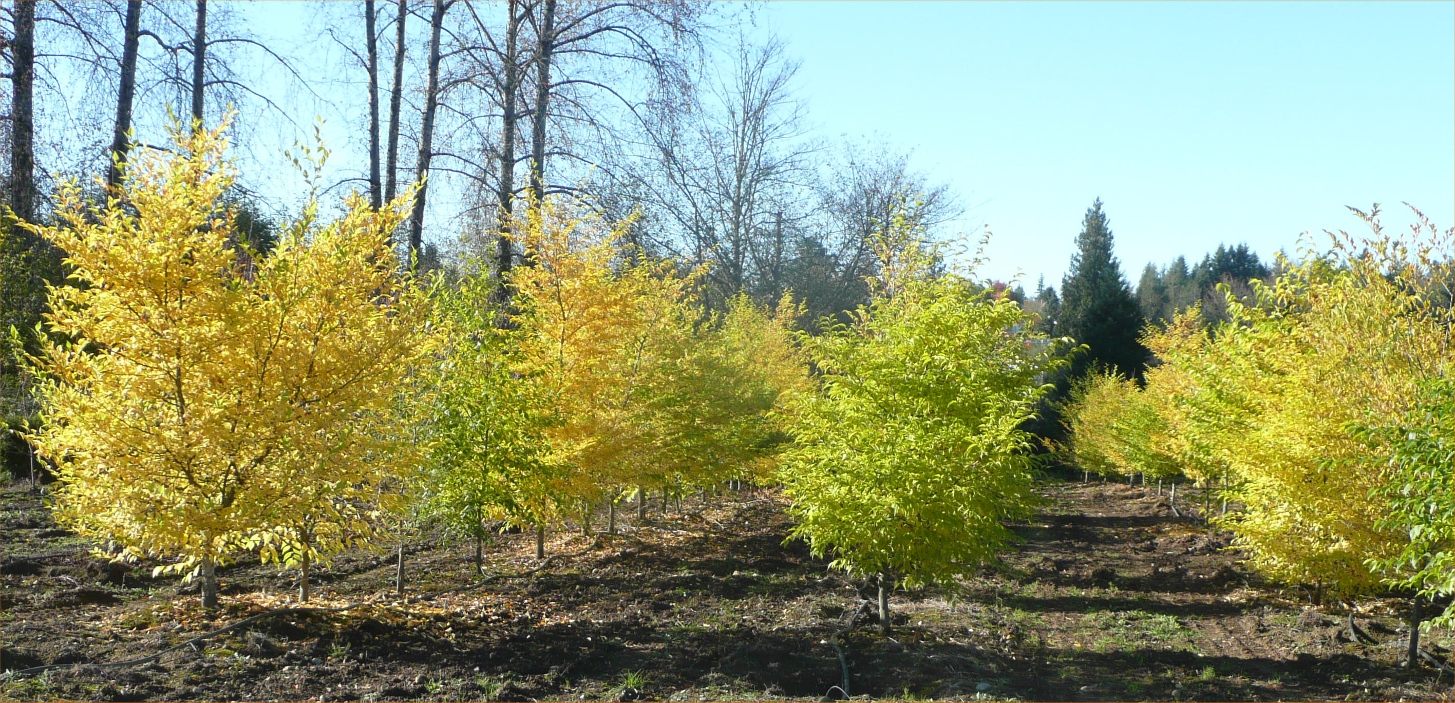 Japanese Snowbell Trees available in Washington State and Shipped ...