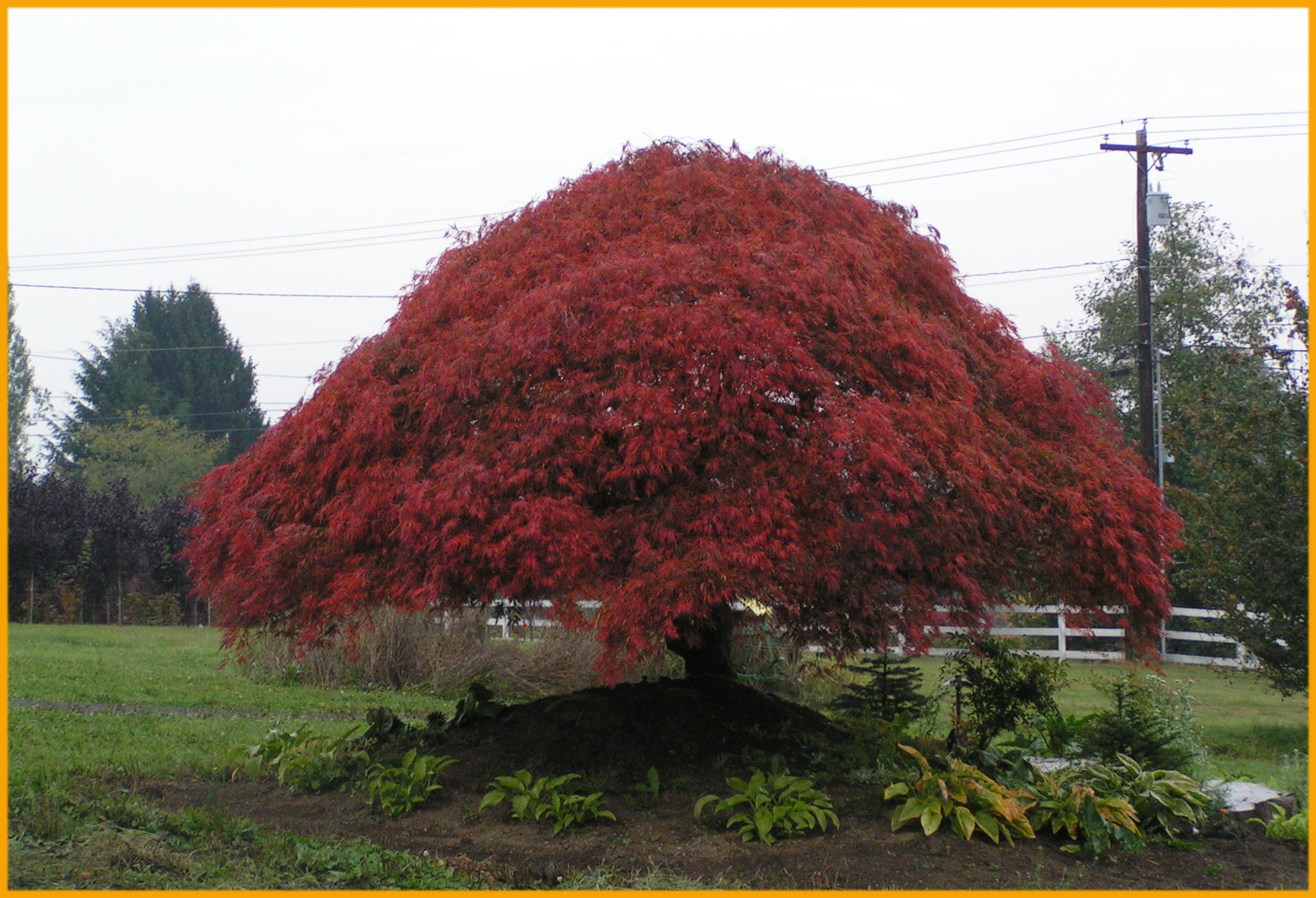 Japanese maple mature girls wild party for Maple trees for sale