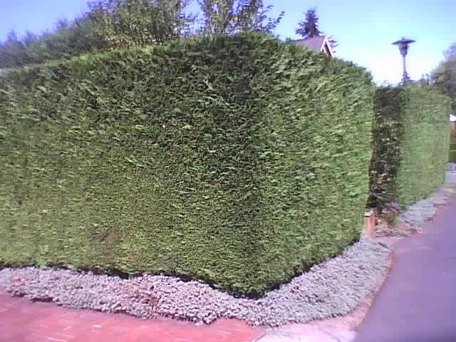Hedged Leyland Cypress