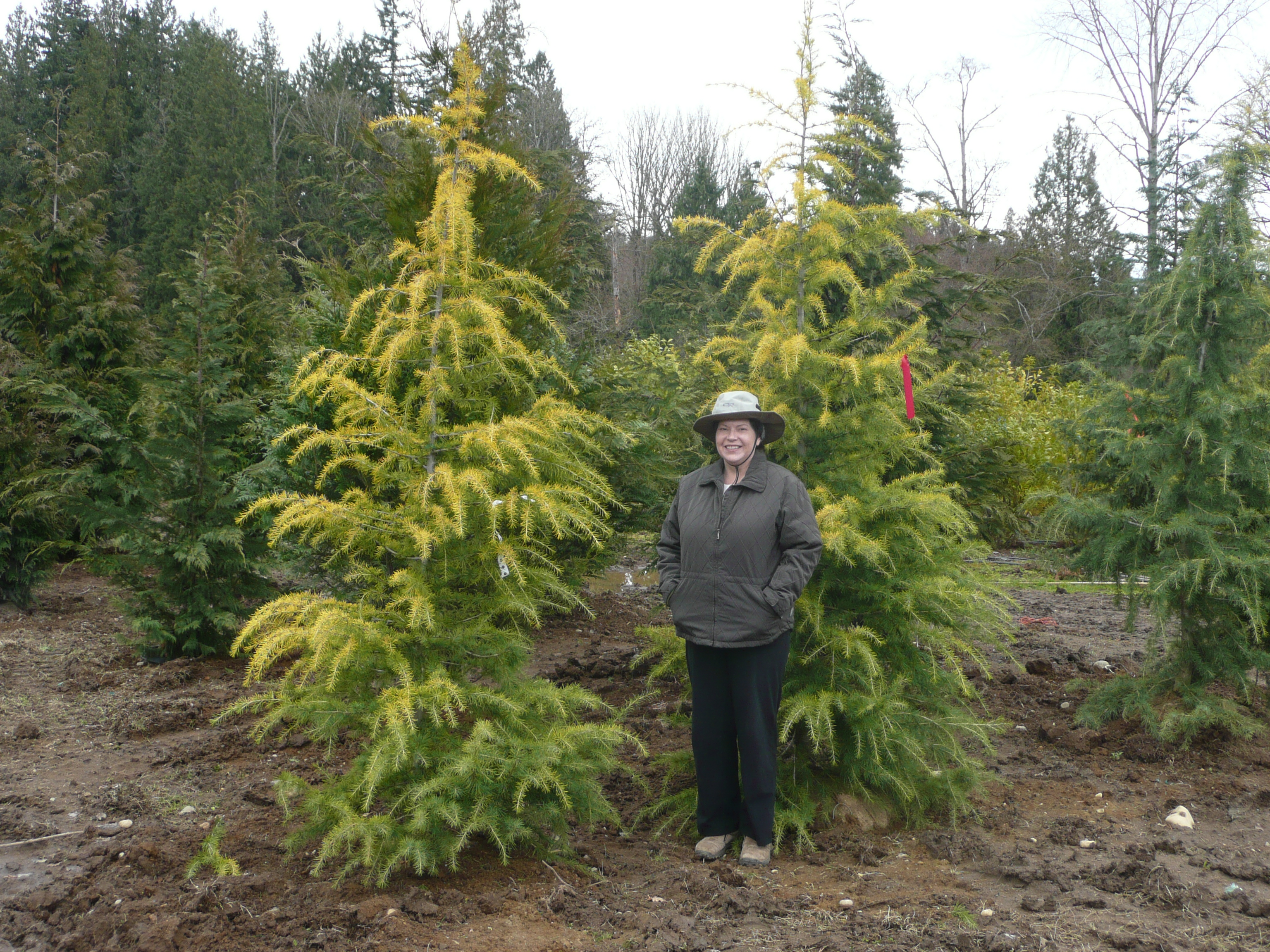 Small Cedar Tree Varieties ~ Doedar cedar in washington state