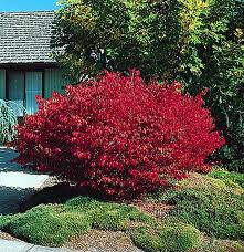 Slow Growing Hedge Plants http://www.nurserytrees.com/Ornamental_Tree_Landing_Page.htm