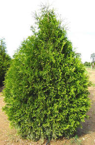 Giant Arborvitae Virescens Available In Washington State