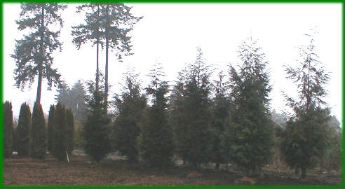 Western red cedar trees growth rate