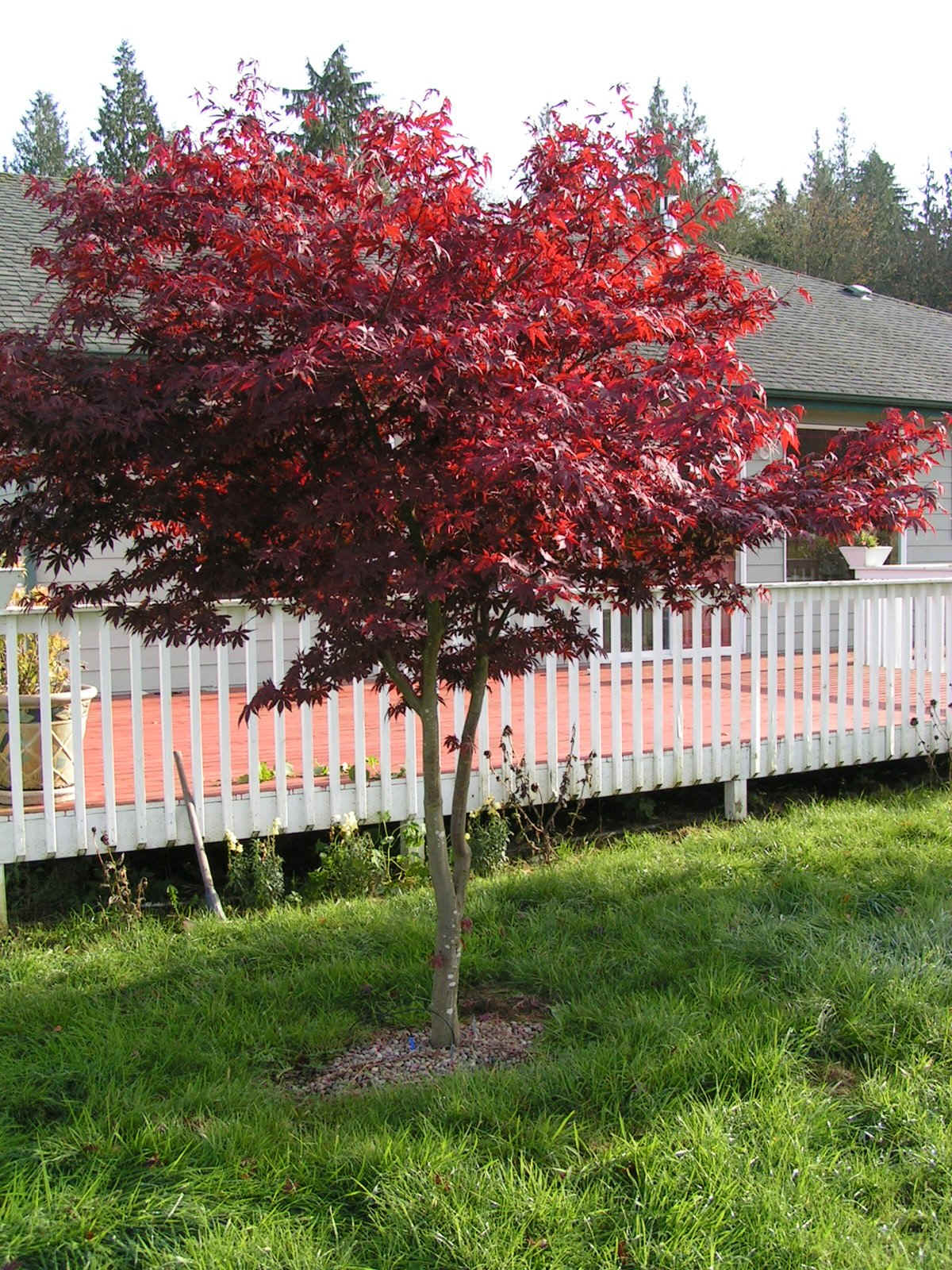 Redleaf Japanese Maple Trees Available In Washington State