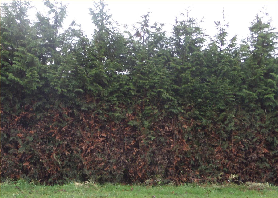 Hedged Leyland Cypress Trying To Prune Large Trees Into A Hedge Results In Dead Material And Trunks Being Exposed