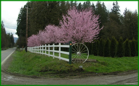 Thundercloud Plum Trees Available In Washington State And