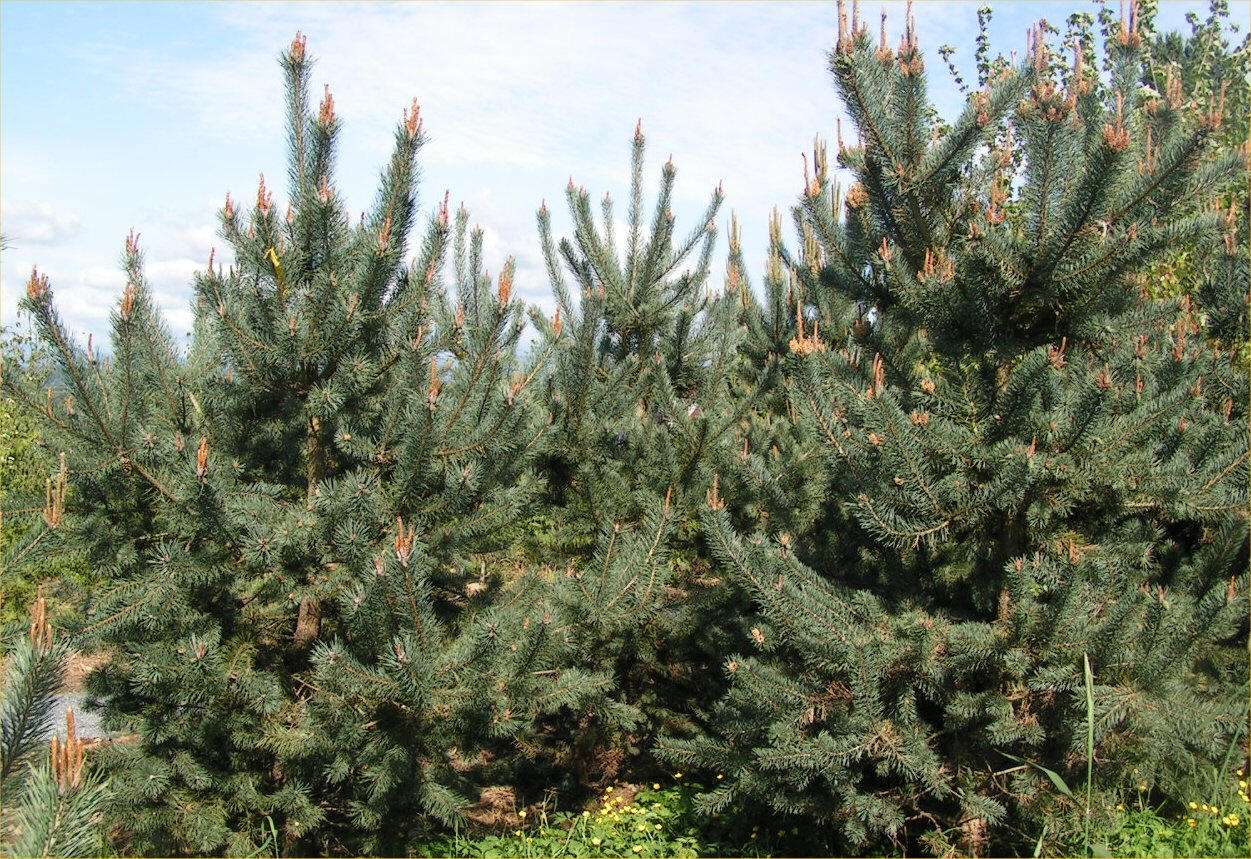Scotch Pine Trees Available In Washington State